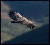 Griffon Vulture at Monfrague