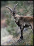 Iberian (Spanish) ibex - Capra pyrenaica, near Puerto del Pico Gredos Mountains