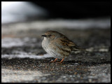 Dunnock - hiding under cars in a parkingplace during cold weather