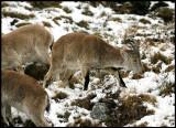 Iberian (Spanish) ibex - Capra pyrenaica
