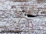 Black-neckedStilt-21May2011-RBLakeweb.jpg
