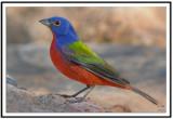 Buntings Cardinals Grosbeaks