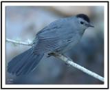 mockingbirds_and_thrashers
