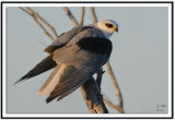 white-tailed_kites