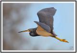 Tri-colored Heron