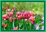 Iris garden in Marnes