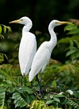 Egrets, Herons and Storks