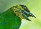 Barbets, Broadbills and Trogons