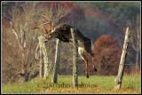 virginia_whitetailed_deer