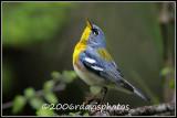Northern Parula Warbler (Parula americana)