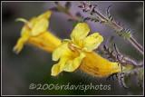 Fernleaf Yellow False Foxglove (Aureolaria pedicularia)