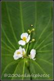 Emergent Aquatic Plant (Sagittaria sp.)