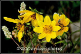 Paleleaf Woodland Sunflower (Helianthus strumosus)