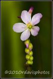 Tracy's Sundew (Drosera tracyi)