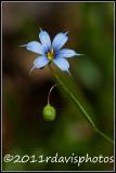 Blue-eyed Grass (Sisyrinchium montanum)