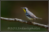 Yellow-throated Warbler (Dendroica dominica)