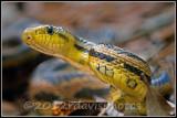 Intergrade Rat Snake