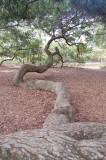 Charleston SC tree