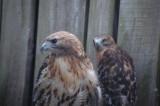 Hawk in VT