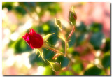 IMG_6321_The rose