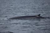 Finback Whale Breach