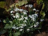 Coton Manor Gardens - Snowdrops & Hellebores 2012