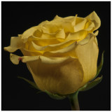 Yellow Rose 02 reworked