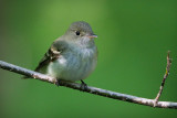 Quiet Flycatcher