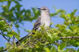 Alert Mockingbird
