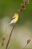 Goldfinch in spring