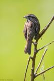 Morning Song Sparrow