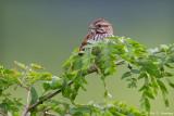 Sparrow in field