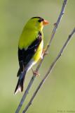 Goldfinch perch