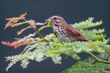 Sparrow with food