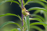 Finch and leaves