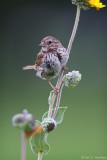 Angled Sparrow