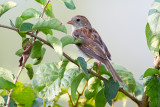 Field Sparrow and leaves