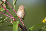 Young Goldfinch resting