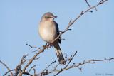 Mockingbird, blue sky
