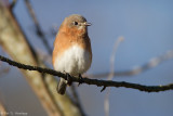 Bluebird in the sun