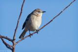 Mockingbird in sun