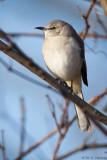 Resting Mockingbird