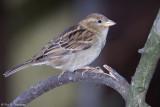 House Sparrow profile