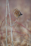 Isolated Song Sparrow