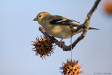 Goldfinch with gumballs