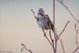 Silent Song Sparrow