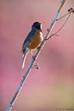 Backlit Robin