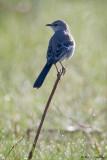Backlit Mockingbird