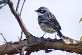 Male Warbler