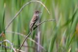 Flycatcher in field